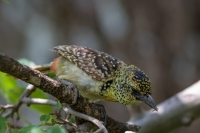 thumb_Barbet_Darnauds