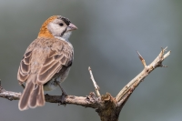 thumb_Weaver_Speckled-Fronted