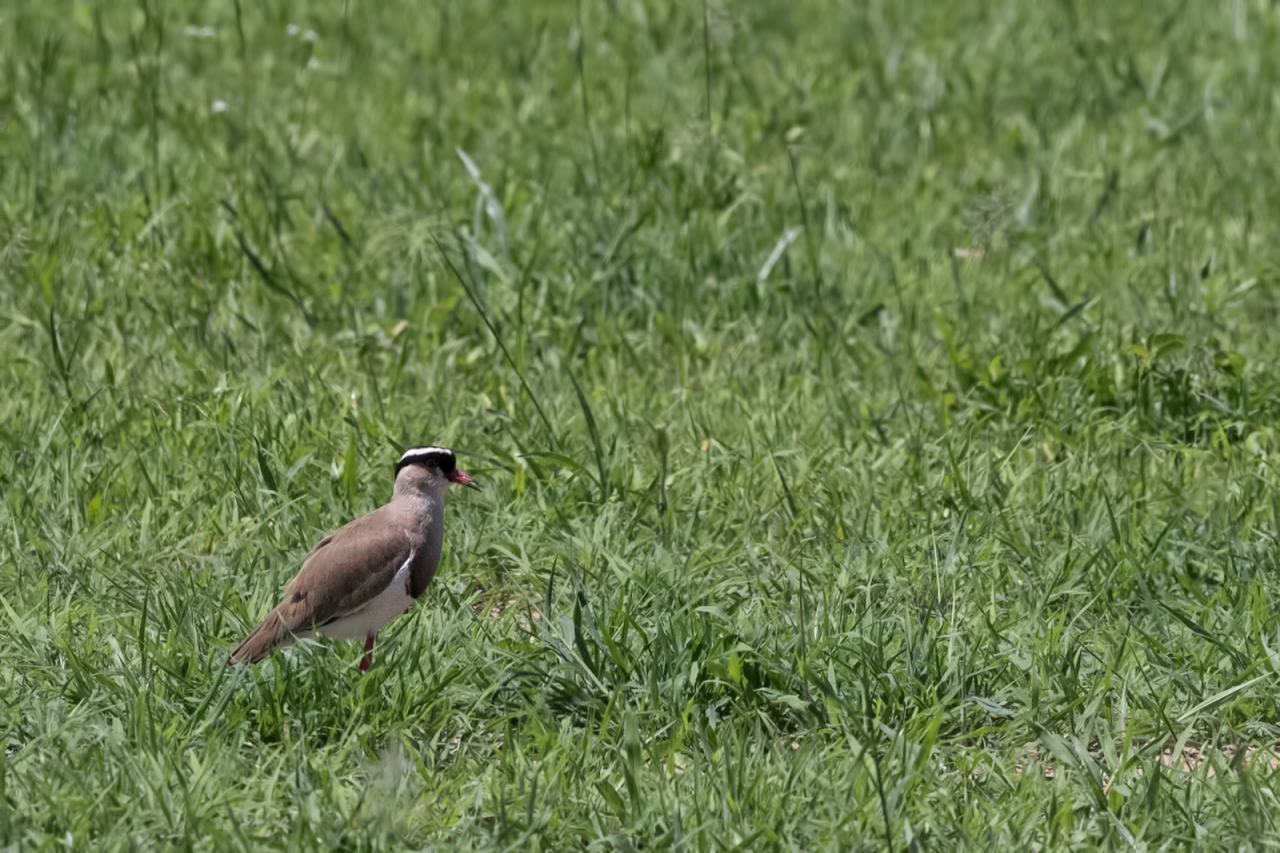 Lapwing_Crowned
