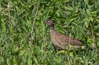 thumb_Francolin_Crested