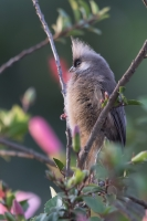 thumb_Mousebird_Speckled