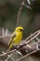thumb_Canary_White-Bellied