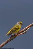 thumb_Finch_Citril2