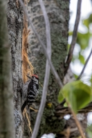 thumb_Woodpecker_Lesser-spotted