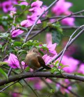 thumb_House Wren