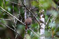 thumb_Sharpe's Wren
