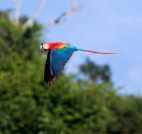 thumb_Scarlet Macaw_flight