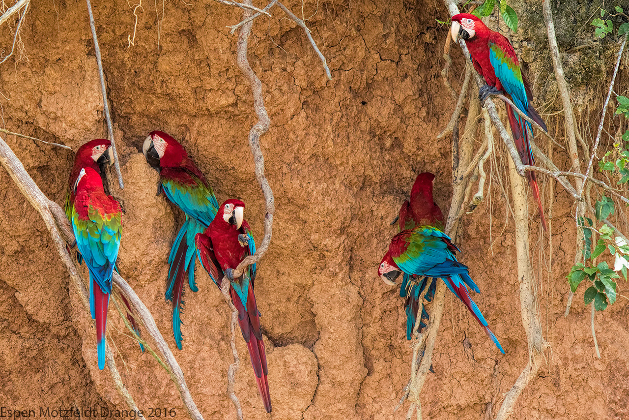 Red-And-Green-Macaw_foto