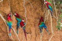 thumb_Red-And-Green-Macaw_foto