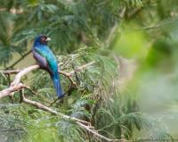 thumb_Blue-Crowned-Trogon