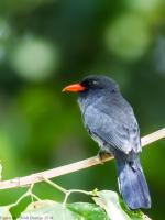thumb_Black-Fronted-Nunbird