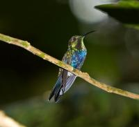 thumb_Fork-Tailed-Wood-Nymph