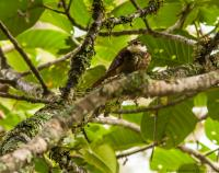 thumb_Rusty-Tinged Antpitta