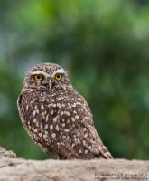 thumb_Burrowing-Owl