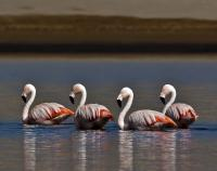 thumb_Chilean Flamingo