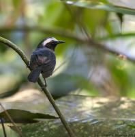 thumb_White-Browed Antbird m