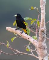 thumb_Yellow-Rumped Cacique