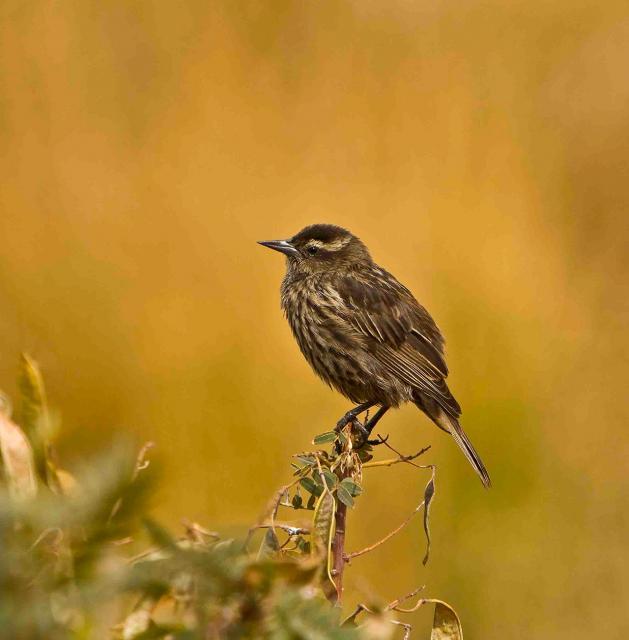 Yellow-Winged-Blackbird-f
