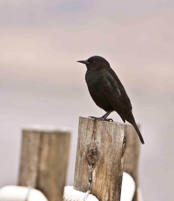 Yellow-Winged-Blackbird-m