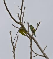 thumb_White-Winged Parakeet