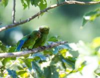 thumb_Cobalt-Winged Parakeet