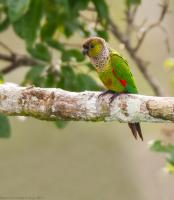 thumb_Black-Capped Parrot