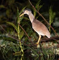 thumb_Boat-Billed Heron