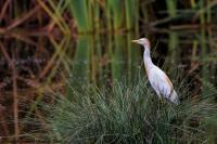 thumb_Cattle-Egret