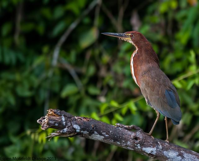 Rufuscent Tiger-Heron