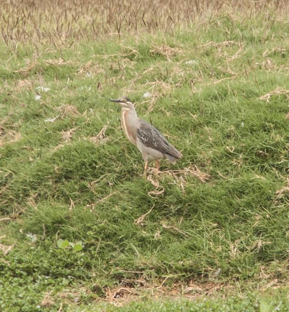Striated-Heron