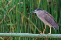 thumb_Black-Crowned-Night-Heron