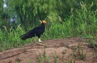 thumb_Greater Yellow-Headed Vulture