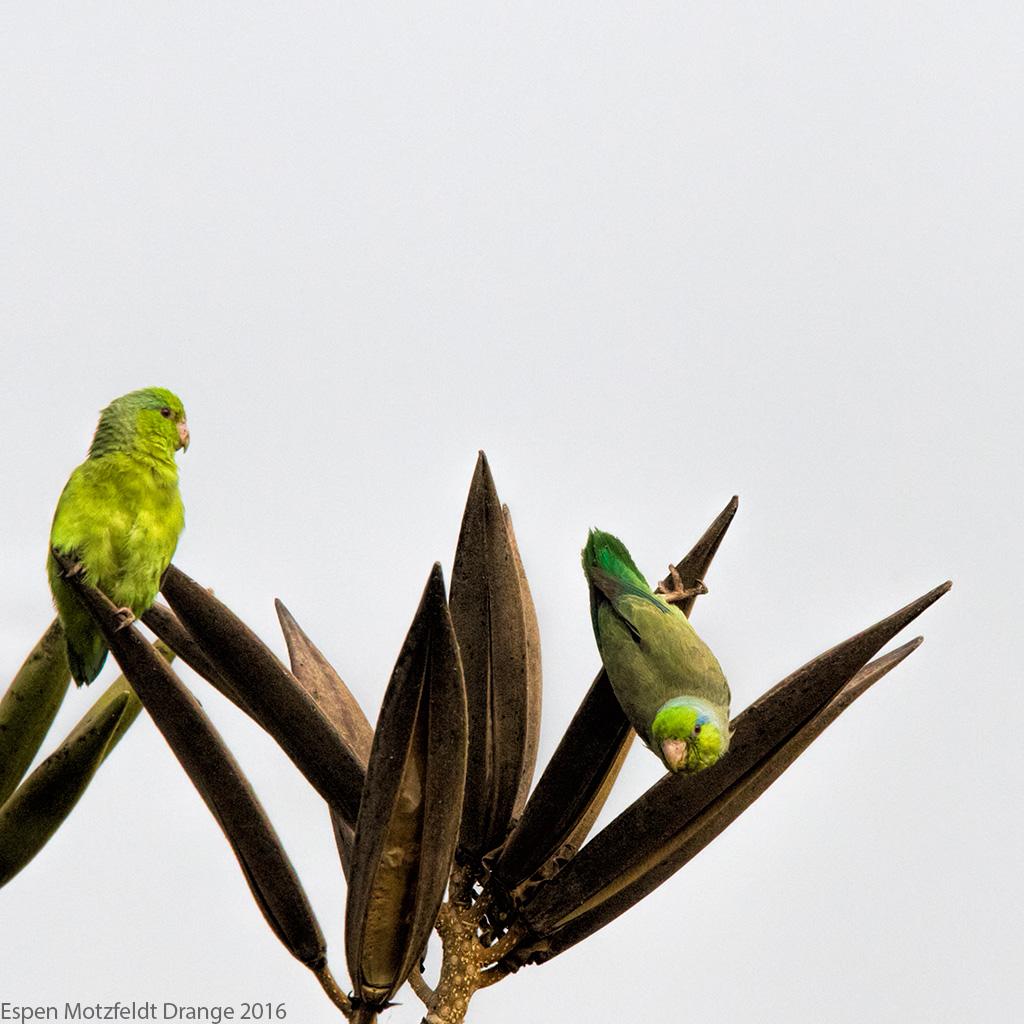 Pacific-Parrotlet_foto