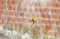 thumb_Yellowhammer