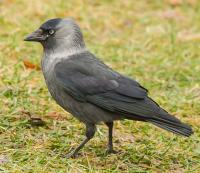 thumb_Corvus monedula_4220