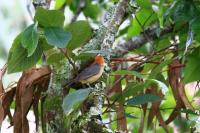 thumb_Buff-Bellied Tanager