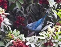 thumb_Blue-Gray Tanager