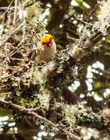 thumb_Flame-Faced Tanager