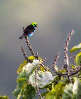 thumb_Paradise Tanager