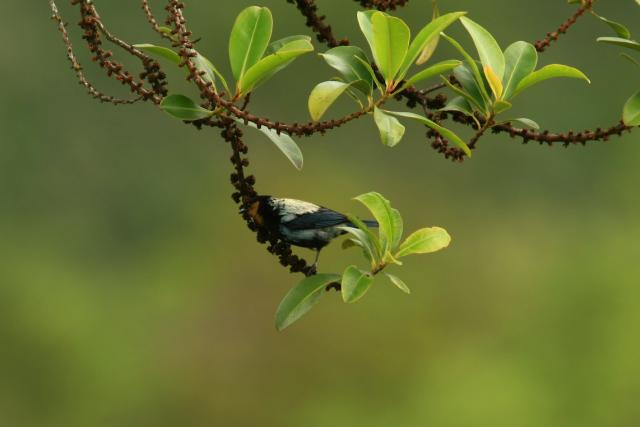Silver-Backed Tanager