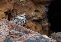 thumb_Ladder-Tailed Nightjar
