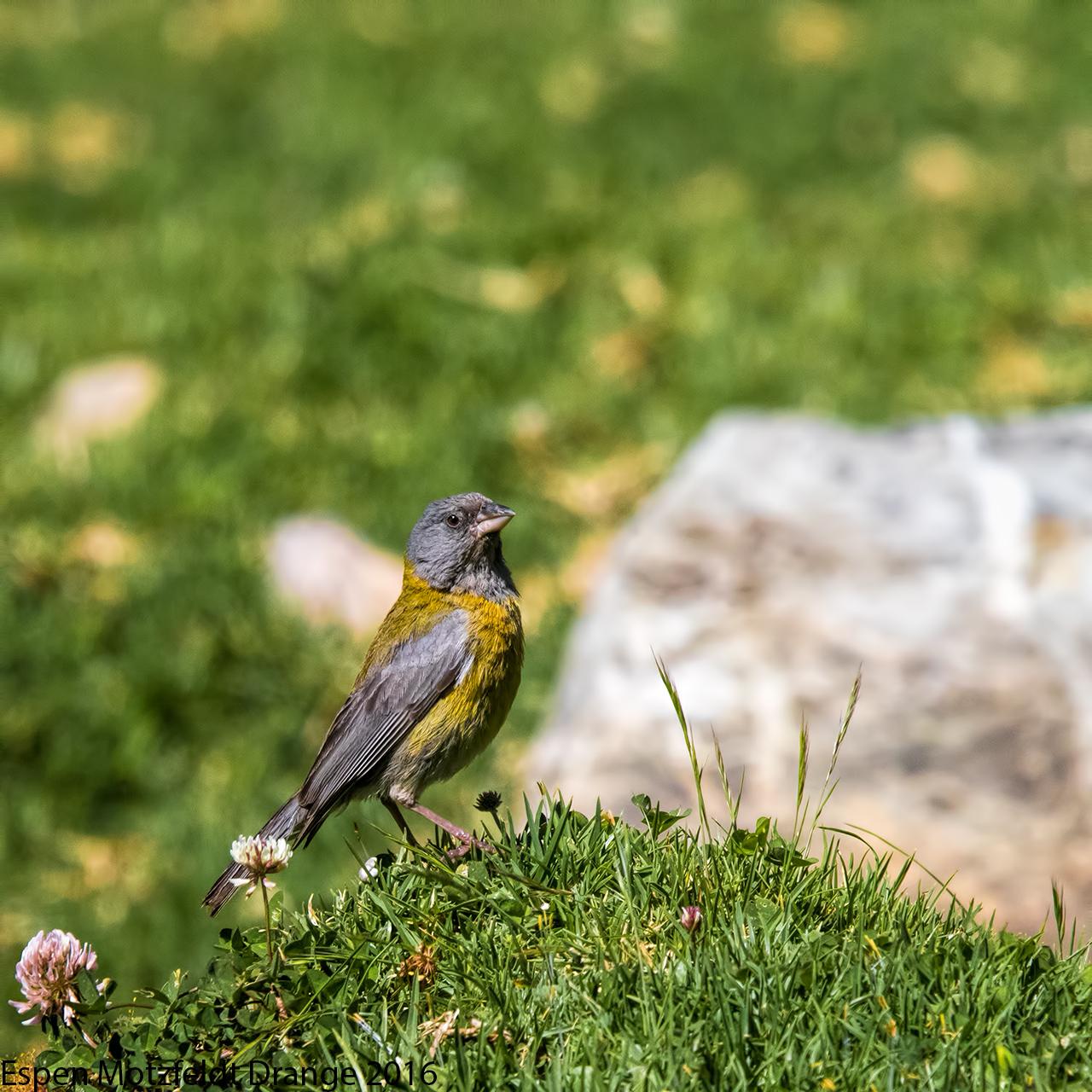 Peruvian-Sierra-finch