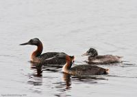 thumb_Great-Grebe