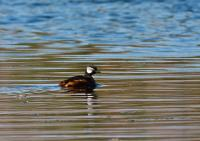 thumb_White-Tufted-Grebe