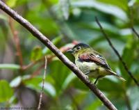 thumb_Inca-Flycatcher