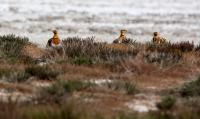 thumb_Black-Bellied-Sandgrouse
