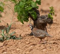 thumb_Red-Legged-Partridge