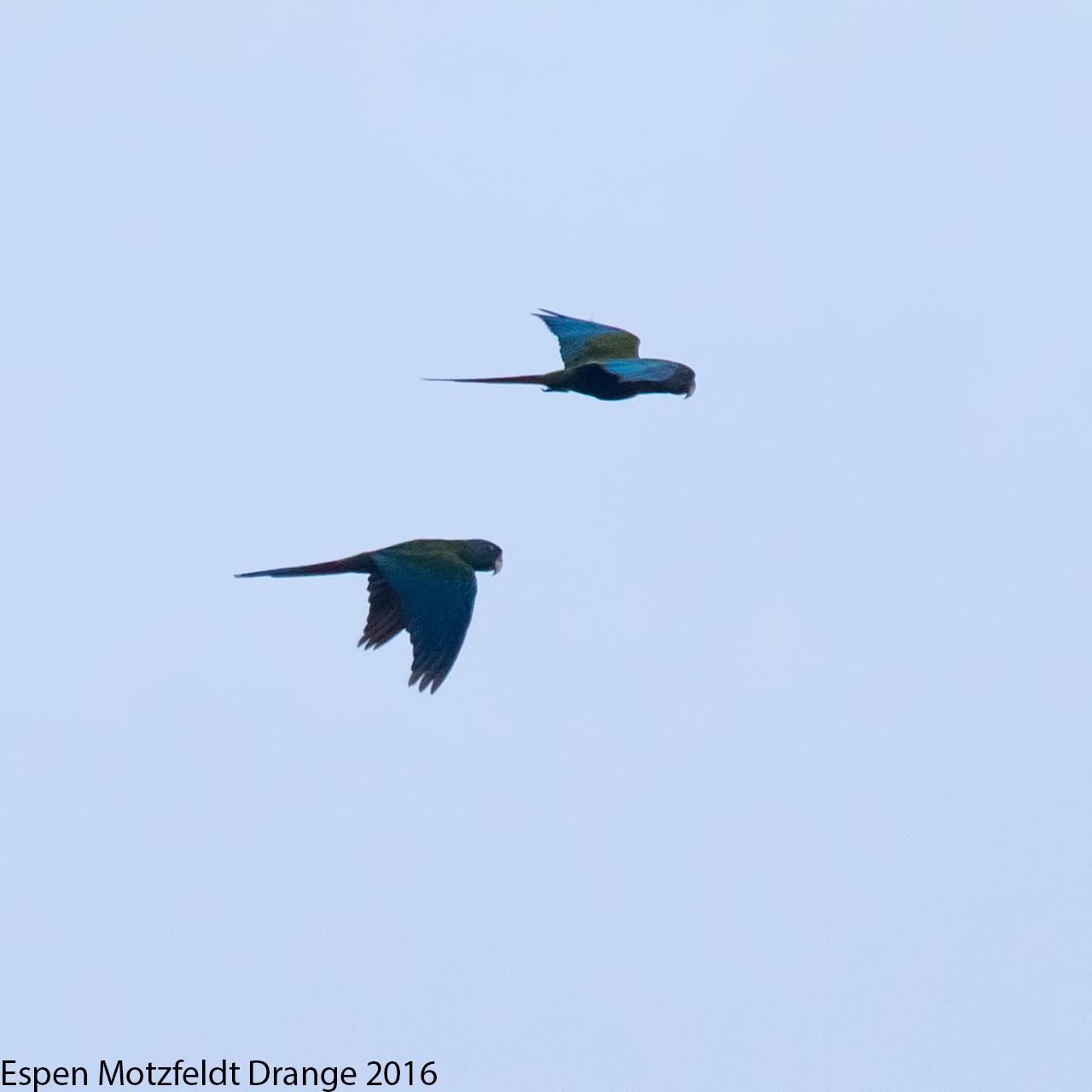 Blue-Headed-Macaw