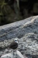 thumb_White-Capped-Dipper