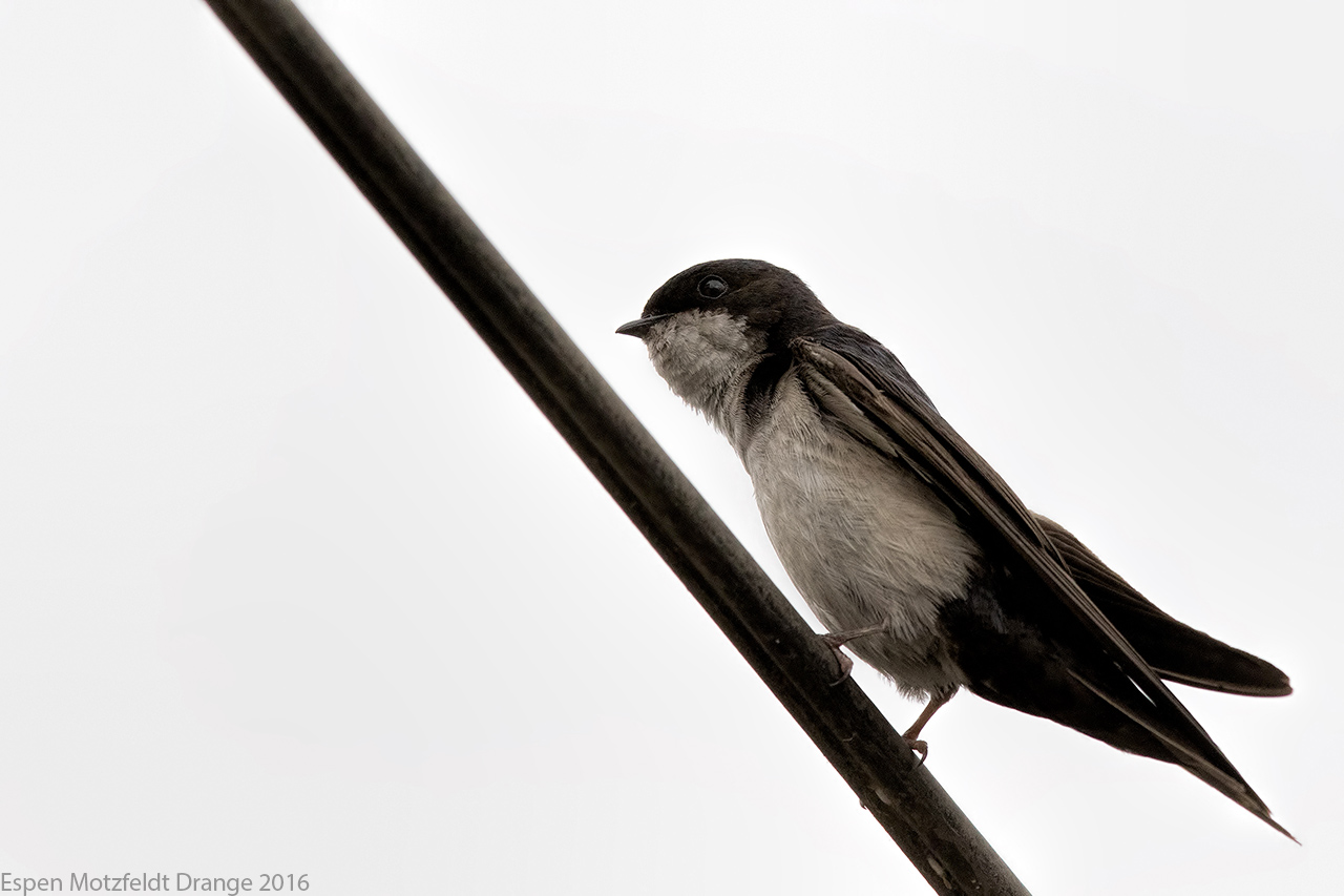 Blue-And-White-Swallow_foto